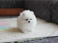 西安出售纯种博美犬幼犬活体俊介博美长不大博美幼犬活体狗狗