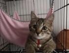 有一只3個月大的貓咪,求好心人領養