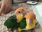 特價轉讓凱克鸚鵡 折衷鸚鵡 黃帽**鸚鵡 灰鸚鵡