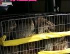 兰州杂交野兔价格/出售肉兔种兔
