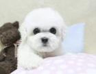 比熊黑黑的眼睛 大大的头 卷卷的绒毛 超可爱的比熊