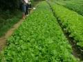上海青,芥菜,白菜,油菜