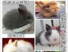 宠物兔子活体纯种荷兰垂耳兔活体猫猫兔侏儒兔活体