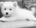 杭州银狐犬出售 纯种银狐幼犬 杭州银狐多少钱一只来我们基地