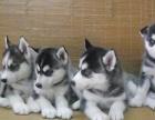 福州出售哈士奇幼犬-包健康签协议-质保三个月