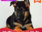 本地出售纯种德牧幼犬,十年信誉有保障