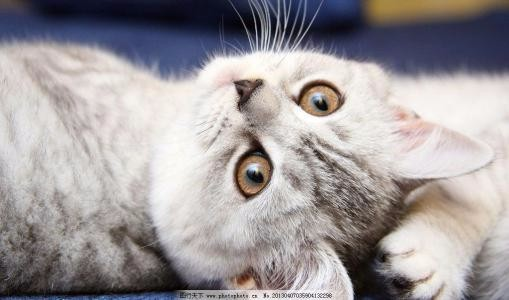 蓝猫 蓝白 美短 银渐层