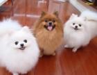 实体犬舍专业繁殖纯种拉布拉多、保健康签协议可配种