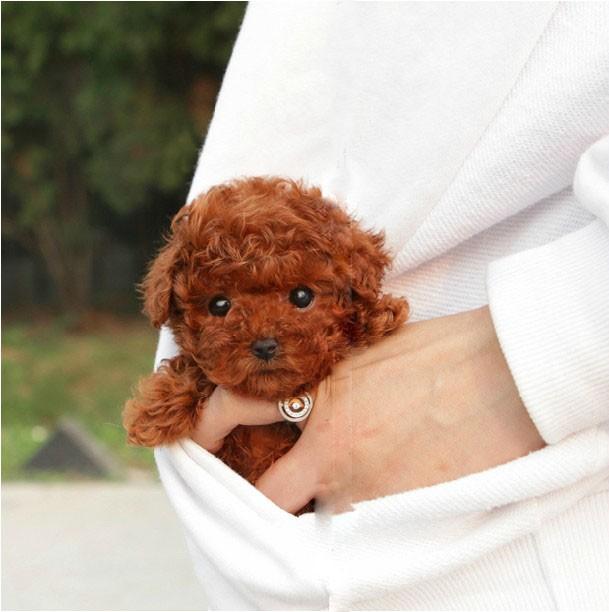 广东佛山地区出售纯种泰迪幼犬
