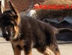 3个月的德国牧羊犬2500元(公母均有)自己家繁育