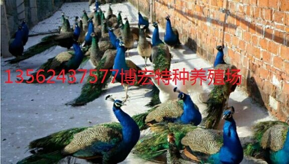 附近哪里有孔雀养殖场孔雀多少钱