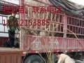 出售安徽怀远石榴树和树桩,树枝长年供应1到30公分的石榴