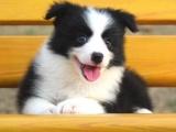 深圳哪里有健康边牧犬买 广东地区最顶端边牧基地三个月公母全有