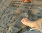 纯家养英短蓝猫和美短虎斑折耳猫