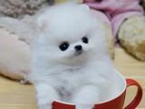 茶杯犬 卖茶杯犬 重庆出售茶杯犬