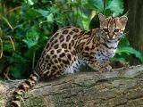 孟加拉豹猫 野性外表温柔家猫性格 时尚 漂亮