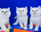 自家繁殖双血银点,蓝猫成母出售
