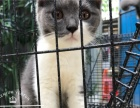 东莞英国短毛猫出售 蓝猫出售