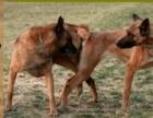 德国冠军凯恩直子小马犬出售