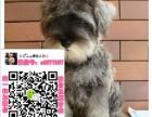 太原雪纳瑞养殖基地求购 雪纳瑞什么价格 雪纳瑞照片宠物店