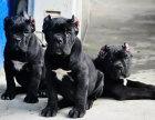 哪里有卖卡斯罗卡斯罗多少钱卡斯罗图片卡斯罗幼犬
