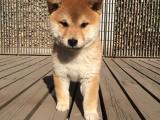 世界上最忠诚的犬 出售纯种健康的柴犬幼犬活泼靓丽