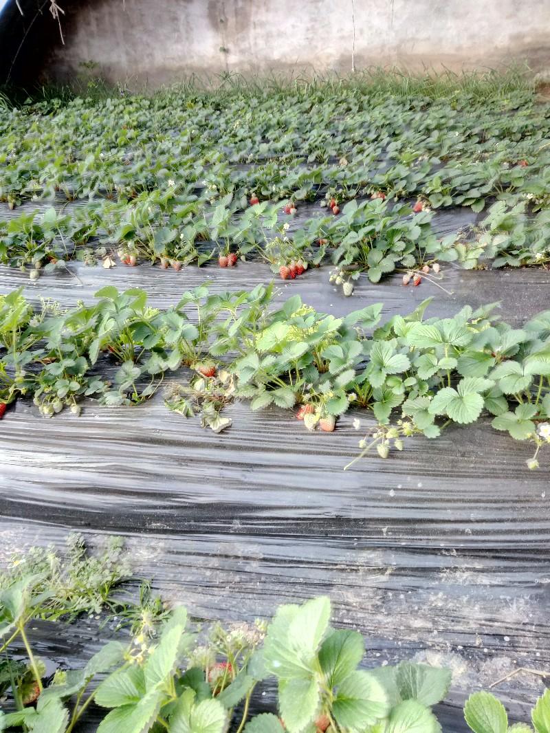 老王奶油草莓采摘园