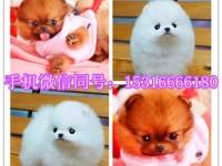 重庆哪里有博美卖 泰迪 柯基 秋田 法牛 柴犬多少钱价格