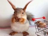 北京出售魔王松鼠 雪地松鼠 金花松鼠 松鼠幼崽