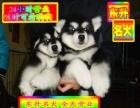 专业繁殖纯种阿拉斯加幼犬—可送货上门.签协议保健康
