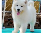 高品质萨摩幼犬 随时看狗 可送货到家 签协议有保障