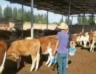 西门塔尔,利木赞,夏洛莱,安格斯肉牛犊出售