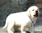 本地出售纯种拉布拉多犬幼犬狗狗 包纯种
