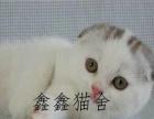 本地家养折耳蓝猫 折耳蓝白 折耳美短 折耳银渐层