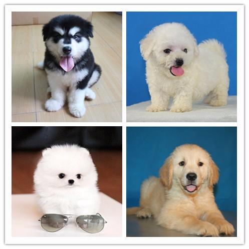 郑州千羽犬舍出售泰迪幼犬 郑州哪里可以买到泰迪 泰迪多少钱