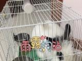 西施兔一岁,宠物兔