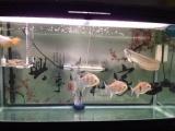 110出25厘米银龙鹦鹉