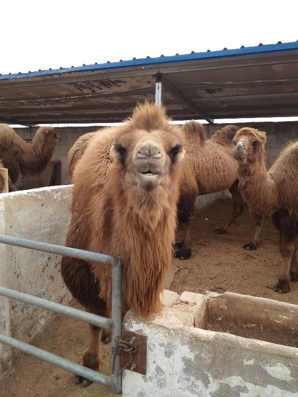 羊驼多少钱一只矮马骆驼黑天鹅出售鸵鸟苗孔雀苗的价格