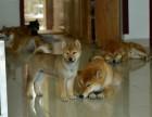 纯种泰秋田犬 常年出售丨协议健康丨疫苗驱虫都齐全