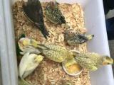 便宜出售玄凤鹦鹉幼鸟,牡丹鹦鹉幼鸟!