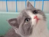 深圳本地猫舍 纯种英短蓝白 正八包子脸 粉鼻 小母 找新家