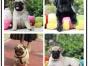 本地犬舍出售纯种巴哥 双血统带证书
