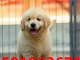专业繁殖-赛级金毛犬--宠物级金毛-京津冀支持上门
