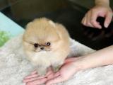 中國專業繁殖雙血統博美犬犬舍 可以上門挑選