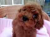 纯种贵宾犬 玩具贵宾犬 最漂亮的贵宾犬