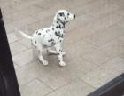 上海哪里有斑点狗犬卖 泰迪金毛哈士奇秋田博美阿拉多少钱价格