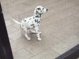 嘉兴哪有斑点狗卖 嘉兴斑点狗价格 嘉兴斑点犬多少钱