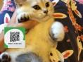 徐州哪里卖蓝猫 蓝猫价格 蓝猫哪里有卖