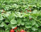 平谷桃花海+草莓采摘(含餐)一日游