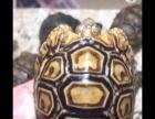 小苏陆龟公仔